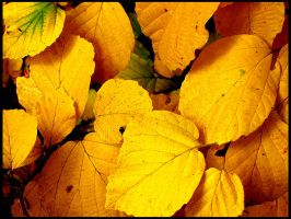 Just Some Yellow Leaves by parallel-pam