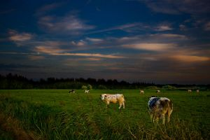 Cows by nomad666