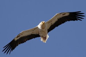 Egyptian Vulture by nakitez