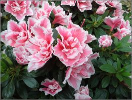 Rhododendron 2 by MadleneP