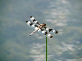 Water Dragonfly by Michayla-Marie