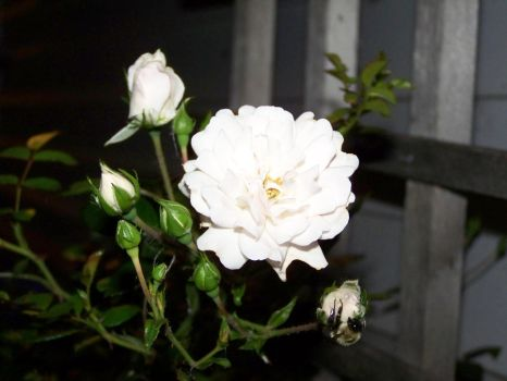 Young White Rose by Blitzkrieg64