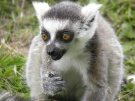 Ring-Tailed Lemur by Xaldin-III