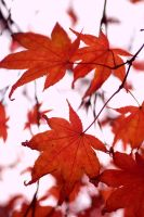 Japanese Maple Leaves IV by xXCold-FireXx