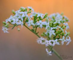 Galium flowers by efeline