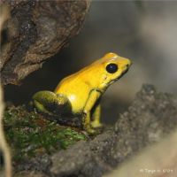yellow frog by spiti84