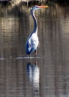 Blue heron by Nipntuck3