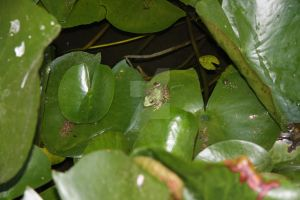 Frog sat on a Lilypad by Distorted-Colours