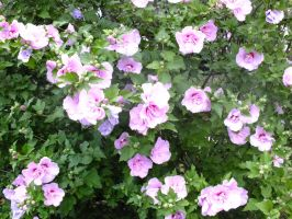 Rose of Sharon by Cailum