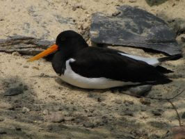 Eurasian Oystercatcher 04 by animalphotos