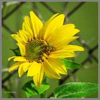 Sunflower with a green bee by Mogrianne