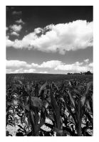Young Ohio Corn by TroyMcGoughInk