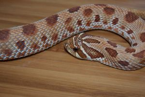 Hognose by Phoenix-Cry