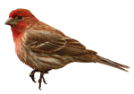 House-Finch 3657 free stock by-GoatDriver by GoatDriver