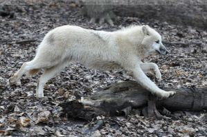 Arctic Wolf (003) by Sikaris