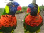 Lorikeets by FlowerNinjaA