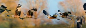 Red Kite sequence by Jamie-MacArthur