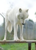 Arctic Wolf Looking Downward by FurLined