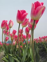 Pink Tulips III by Photos-By-Michelle