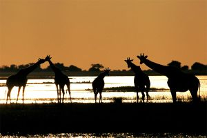 Giraffe, Chobe river by catman-suha