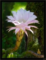 Cactus flower - 2 by J-Y-M