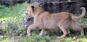 Lion Cub stock 3 by Ghost1701d