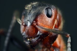 Ant by RichardConstantinoff
