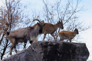 Family of Markhor by cindy1701d