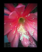 Orchid Cactus by sacredspace
