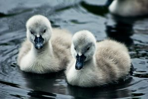 Couple Of Cygnets by akrPhotography