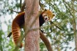 Adorable red panda by kalaspuff