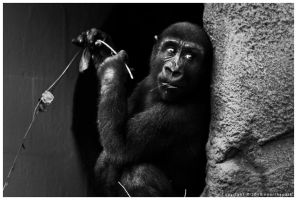 Young Chimpanzee by nearthepark