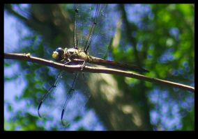 Resting Dragonfly by ShamanofShadows