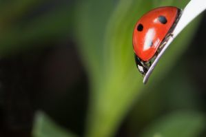 Coccinelle by Ocri