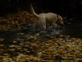 LABRADOR IN THE WATER by PUBLIC-DOMAIN-PICS
