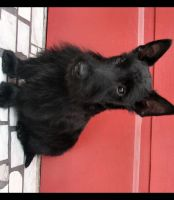 JACK - SCOTTIE PUP by CRYSTALSPICS