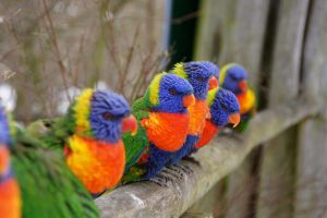 lovely lorikeets by julebe11