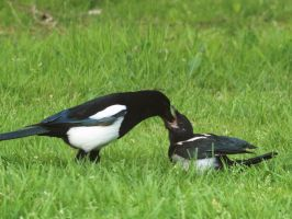 Juvenile magpie feeding time by pagan-live-style