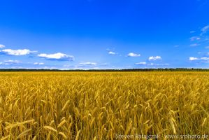 Rye field - Roggenfeld by daPerforM