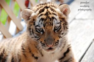 Shere Khan's Baby Face by filemanager