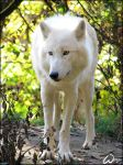 Arctic wolf, guard of colours by woxys