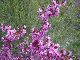 Blooming Redbud in the Sierra by Geotripper