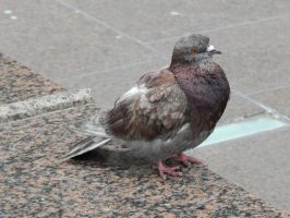 A Typical New York Pigeon by Pyroraptor42