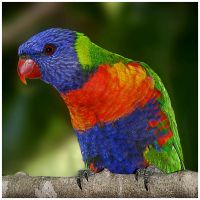Rainbow Lorikeet by GreenEyedHarpy