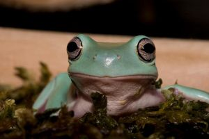 Whites tree frog V6 by AngiWallace