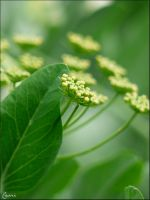 Parsley by Cassiopeeh