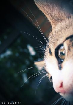 cat by SaCOTY