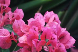 Pink Flowers by Manisma