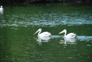 A couple of gooses by ailsalu