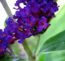 Butterfly Bush 5 by Holly6669666